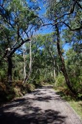 Road through the eucaliptus