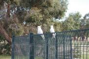 Cockatooes