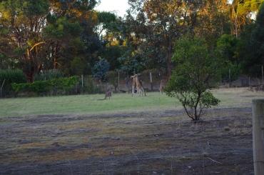 Live Kangaroo fight