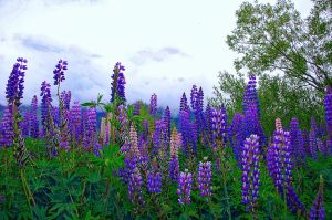 Field of lupin flowers in NZ